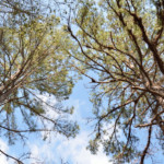 View of the tree canopy at Hinson Recreation Area along the Chipola River Greenway