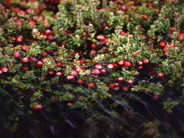 Cranberries are a healthy, natural way to fight food -born illness
