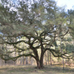 Beautiful Oak at Hinson Recreation Area along the Chipola River Greenway