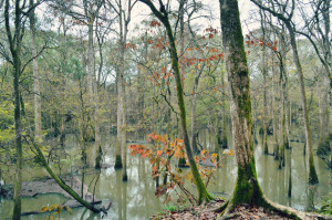 The Chipola River Floodplain as seen at Florida Caverns State Park