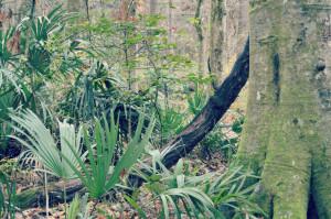 A grape vine growing at Florida Caverns State Park.